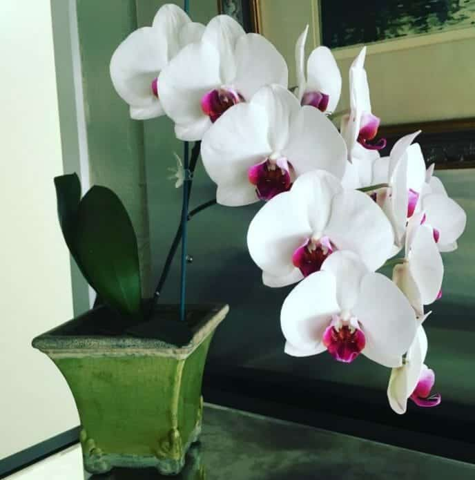 Growing moth orchids