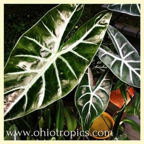 Secrets of Alocasia Amazonica Care: