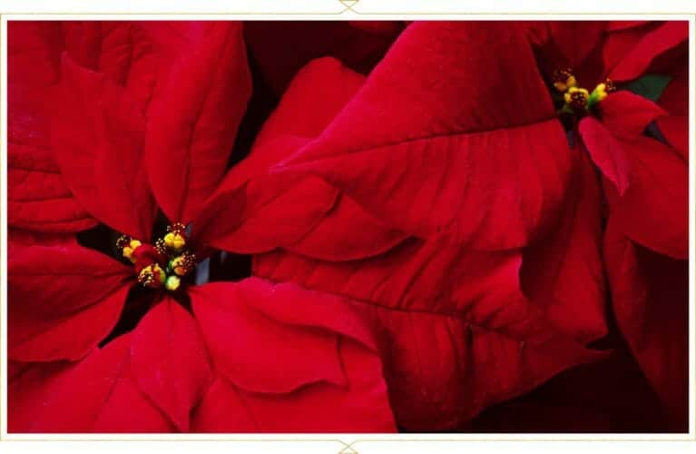 FTD Poinsettia Care Guide