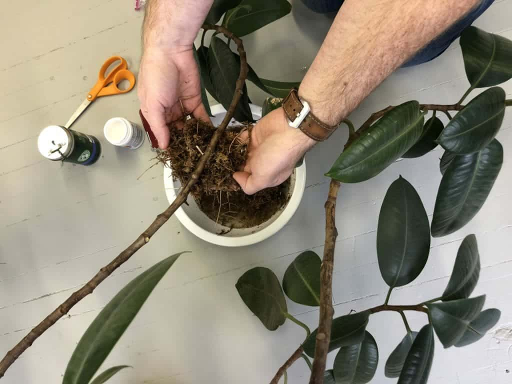 Air layering your houseplant