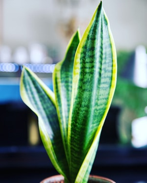 snake plant care