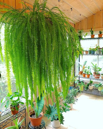 indoor ferns