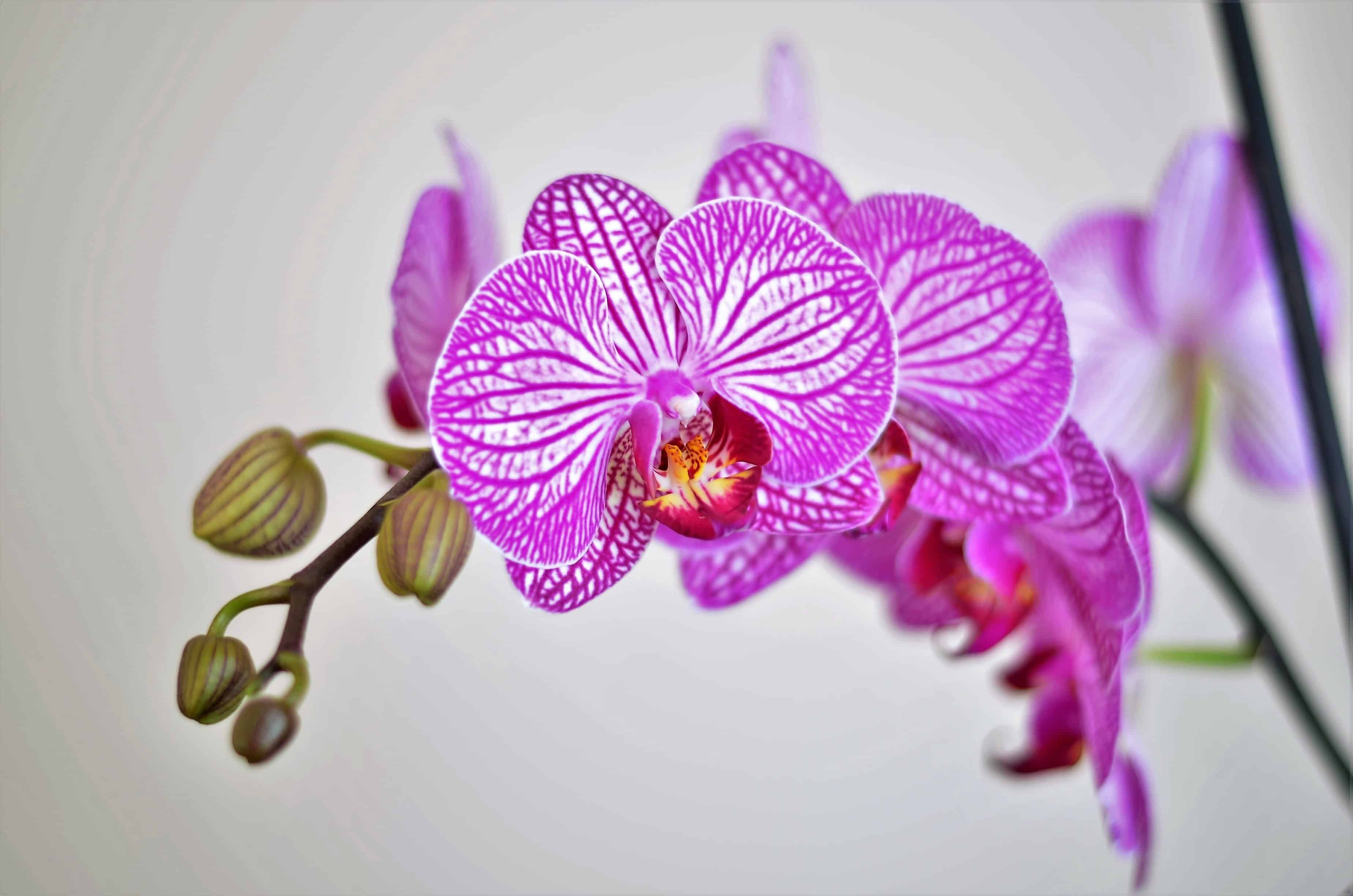 orchid dying