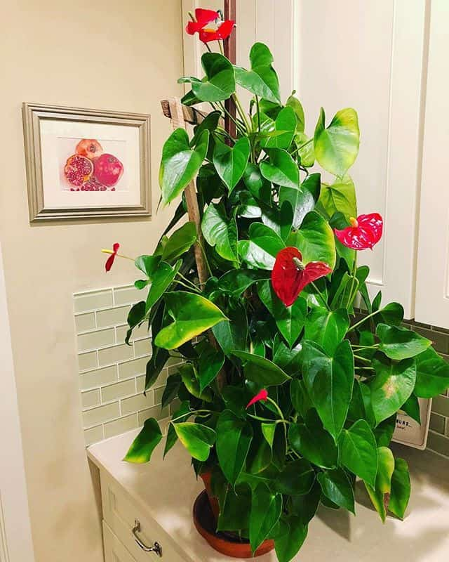 anthurium plant care