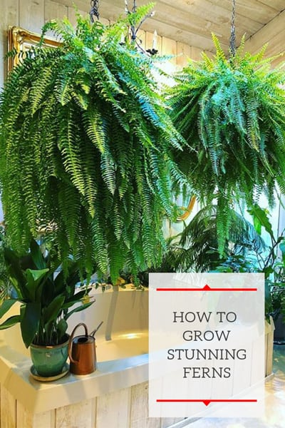 how-to-grow-ferns