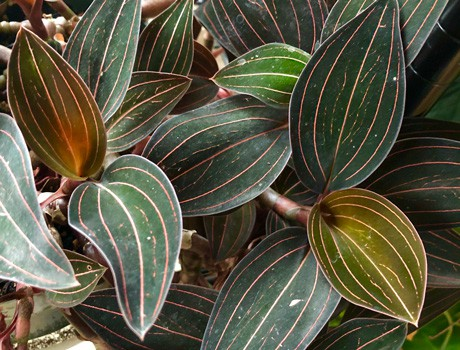 How To Grow Ludisia Discolor The Beautiful Jewel Orchid