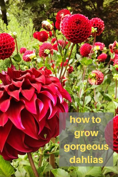 How To Grow Armloads Of Dahlias In Your Garden