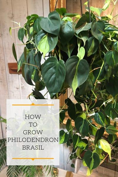 VARIEGATED FOLIAGE PHILODENDRON BRAZIL VINE Philodendron Brasil