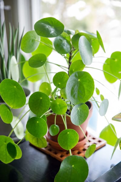 Secrets of Pilea Peperomioides or Chinese Money Plant Care