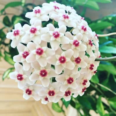 Hoya Carnosa Care Tips And Top Secrets For Blooming