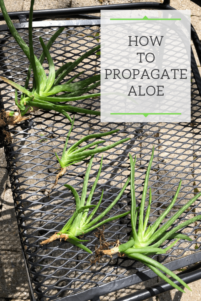 how to propagate aloe