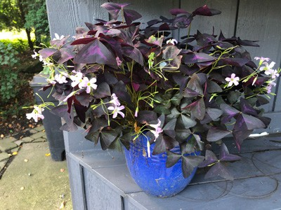 oxalis triangularis purple shamrock