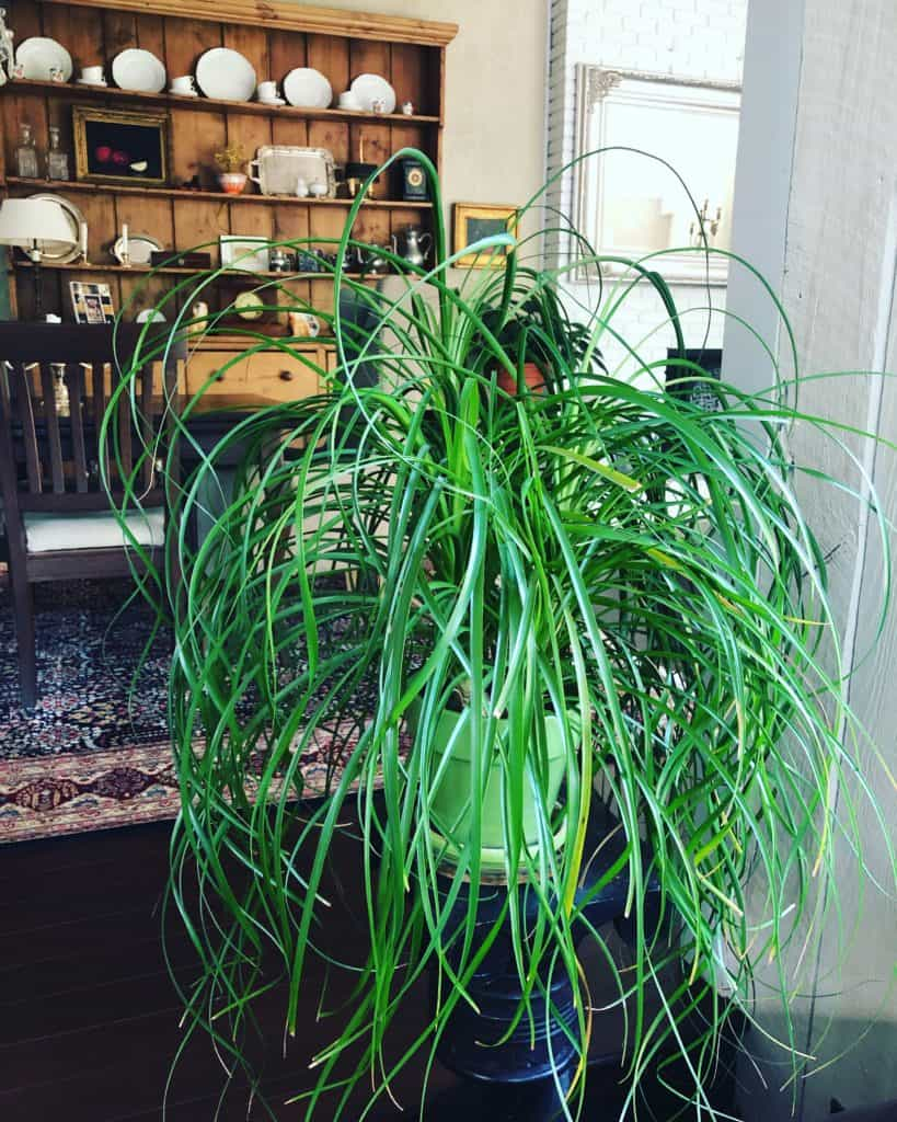 ponytail palm beaucarnea recurvata