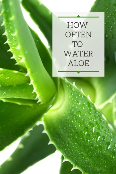 how often do you water an aloe plant