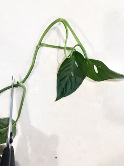 monstera adansonii propagation