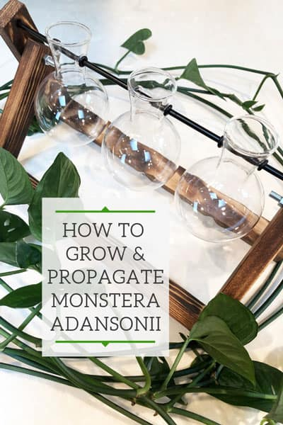 propagating monstera adansonii