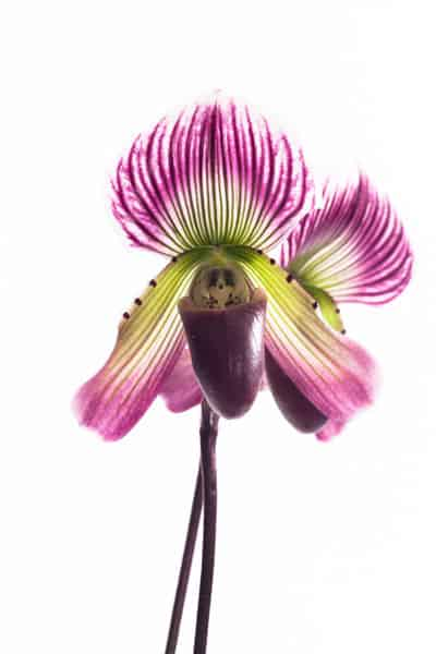 paphiopedilum care low light orchid