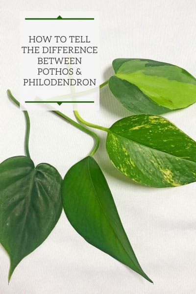 difference between pothos and philodendron