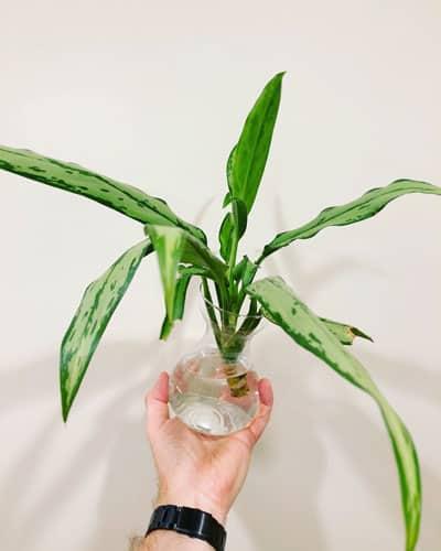 aglaonema-cutting-propagation