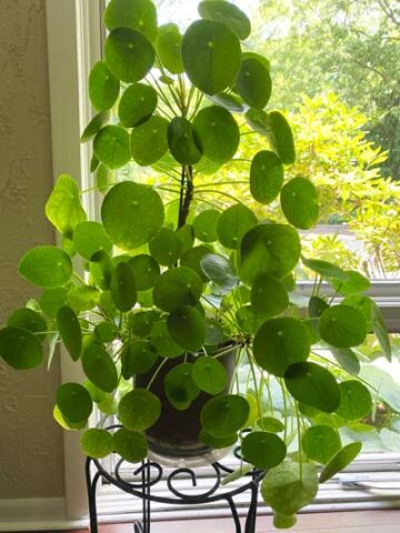 pilea-peperomioides-support