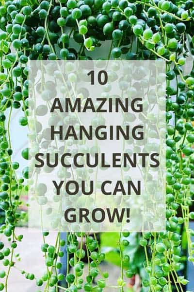hanging-succulents