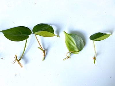 LIVE UNROOTED philodendron brasil cutting