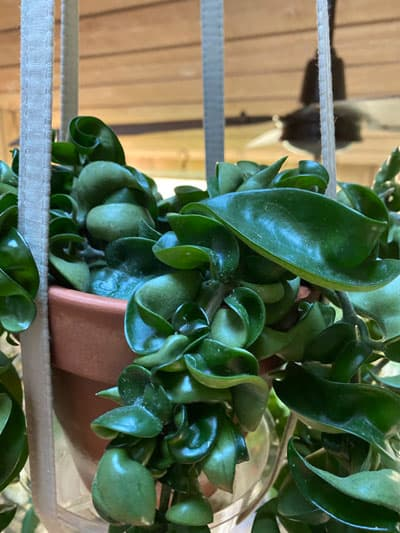 Hoya Hindu Rope /'Hoya Compacta/' x 1 Rooted Plant  Live Plants