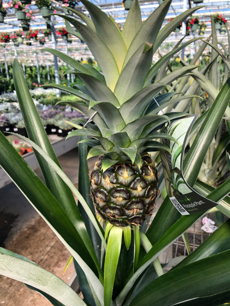 pineapple-plant-propagation